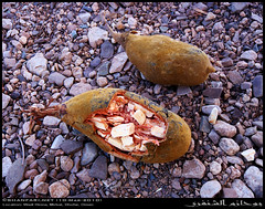 Baobab Fruit in Wadi Hinna, Dhofar (Shanfari.net) Tags: trees tree nature lumix raw natural african middleeast panasonic malvaceae henna hina oman wadi fz mideast hena baobab zufar digitata rw2 salalah hinna   sultanate dhofar    khareef   mirbat adansonia    adansoniadigitata       governate  dofar fz38 marbat  fz35 dmcfz35
