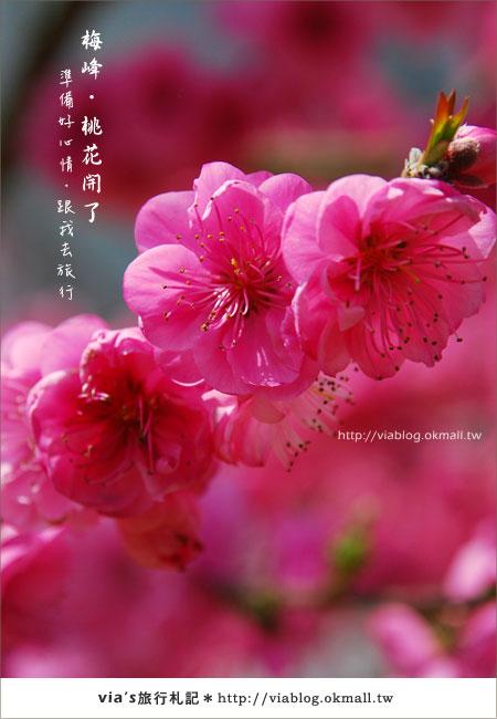 【梅峰農場桃花緣】最美的桃花隧道,就在南投梅峰這裡~(上)35