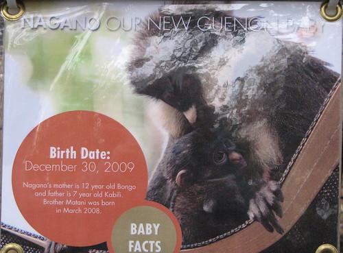 Nagano, New Guenon Monkey Baby