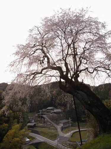 八講桜@桜井市-10
