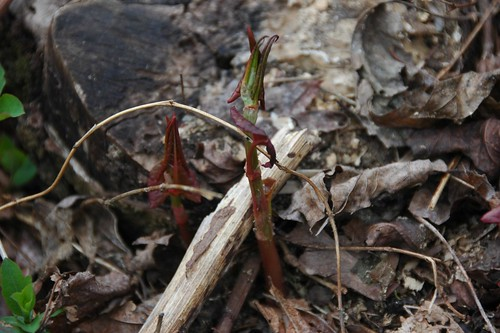 Fallopia japonica, Japanese Knotweed