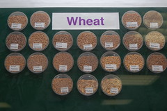 Wheat Varieties Displayed at The International...