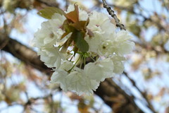 神奈川県自然環境保全センターの桜(Cherry blossoms at Kanagawa Nature Preservation Center, Japan, 2010)