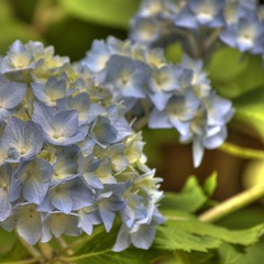 Blue Hydrangea (StGrundy) Tags: flowers blue flower macro nature floral closeup petals spring flora nikon natural hydrangea hdr highdynamicrange mothersday hortensia hydrangeamacrophylla 3xp photomatix d80 stgrundy