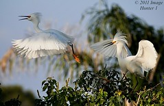Snowy Egrets (Image Hunter 1) Tags: blue sky tree nature leaves birds flying wings louisiana snowy flight feathers bayou breeding swamp greenery marsh wingspan snowyegret egrets treetop plumage wingspread t2i birdslouisiana canont2i