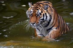 Yorkshire Wildlife Park - Sayan (Dave Hunt Photography) Tags: niceshot tiger mygearandme flickrstruereflection1 flickrstruereflection2 allofnatureswildlifelevel1 allofnatureswildlifelevel2