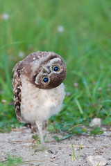 Burrowing Owl Yoga (Photomatt28) Tags: bird avian athenecunicularia burrowingowl birdphoto