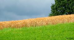 Clouds, field and grassland (Fuzzi :-)) Tags: cloud tree field germany deutschland corn feld wiese himmel wolke panasonic gras grassland baum getreide dmctz3 tz3