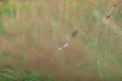 Wiesenschleier (g e g e n l i c h t) Tags: wiese gräser skabiose schleier natur pflanzen lumixgx7 mft summicronr250mm dof schärfentiefe depthoffield plant gx7
