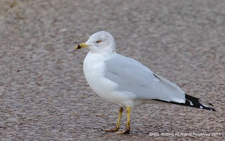 Ring-Billed gull from chew valley lake .  Stayed for 4 hours was about to go home , walked back to van and it was sat waiting for me !