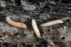larvae (myriorama) Tags: larvae flies diptera nematocera bibionomorpha log