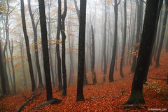 beeches in flame (.:: Maya ::.) Tags: park autumn eye nature misty landscape woods maya central bulgaria national haya balkan bulgarie bulgarien        mayaeyecom mayakarkalicheva  wwwmayaeyecom