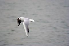 Möwe-16 (gabriel_flr) Tags: sea birds gull möwe möwen pescarusi bögel pescarus nikond3000 gabrielflr sewagully