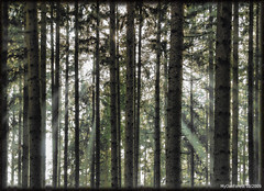 Stuctures in the forest (MyOakForest) Tags: fog forest rays wald sonnenstrahlen stuctures strukturen