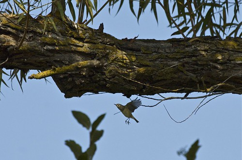 A ruby-crowned kinglet caught in flight!