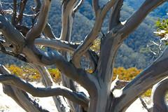 Harrietville - the great Alpine Ocean Road to Melborne. (Marianne de Wit) Tags: trees texture nature bomen ozzie downunder australie specialtrees specialebomen stucktuur