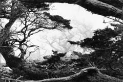 Cypress in the fog at Point Lobos (Snap Man) Tags: california fog carmel cypress montereycounty 1968 montereycypress pointlobos byklk