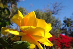 Yellow Rose, Fresia (ron.photographer) Tags: flower rose yellow roseto ilroseto fresiarose