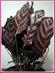 Calathea makoyana (Peacock Plant, Cathedral Windows), folding its leaves at dusk, like praying hands