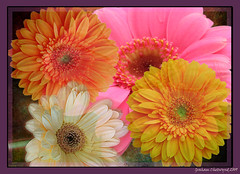 Gerbera Rainbow (chetty3) Tags: flowers abstract texture nature photoshop canon colours gerbera coth sigma105mmf28 supershot fantasticflower anawesomeshot impressedbeauty eos40d theunforgettablepictures 100commentgroup 100commentsgroup