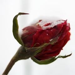 Besneeuwde rozenknop