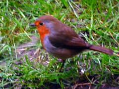 "my first ever little robin red breast ("""" Irene """") Tags: red news love me robin childhood sign dave blessings for breast message symbol unique father first special blessing relief story tiny huge forever chico capture ever marking meaning connection allrightsreserved shared everlasting lifestory ressurance theinspirationgroup irenecartonsphotography"