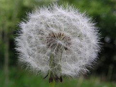 Wishes (Michelle Griffiths) Tags: inspiration flower dandelion seeds wishes wildflower dandelionseeds