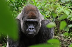 DSC_4090 (G1 Photo) Tags: flickr gorilla nikkor silverback onephoto oc6 concordians nikond300 g1photo 1photooc6 onephotooc6 naturesgreenpeace mothernaturesgreenearth