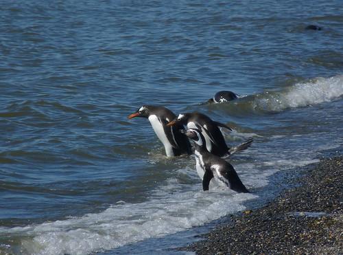 Gentoo penguin P1010719 by grebberg