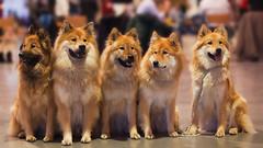 Eurasier - kleines Rudel (Alexander J.) Tags: dog dogs animal animals fellbach eurasier hundeaustellung 10012010
