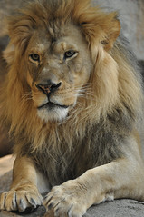 Lion (Eve'sNature) Tags: cats nature wisconsin zoo wildlife lions felines lioness bigcats