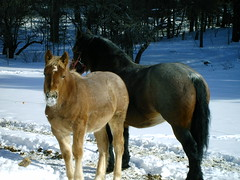 Thunder likes the snow (country_girl3) Tags: horses horse caballo cheval mare belguim colt stallion equine