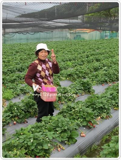 關西採草莓橘子牛欄河2010.02.20-3