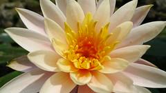 L1020486 () Tags: flower taiwan  leicadlux4