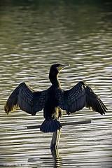 Cormorn.. Phalacrocorax (Antonio Vlchez..) Tags: antonio charca motril surez cormorn vlchez