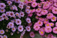 Joy, In Pink & Mauve (bigbrowneyez) Tags: flowers closeup joyful asters frontgarden colorcombo tinypetals lovelyview yellowcenters mauvepink natureinminiature
