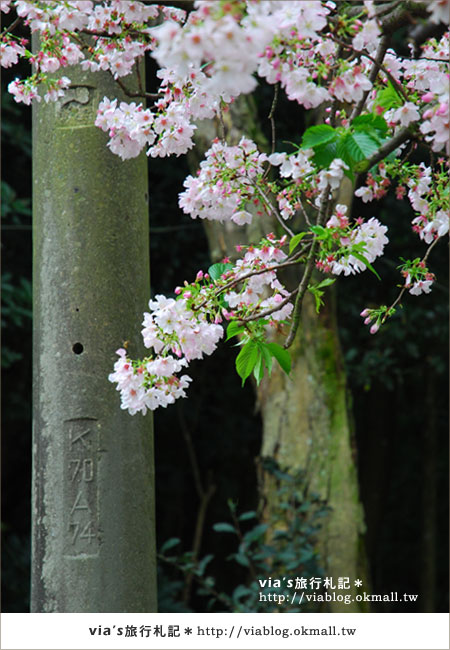 【淡水天元宮櫻花】跟著via賞花趣~天元宮櫻花最新花況16