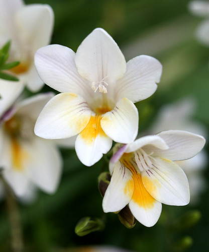 Freesia species