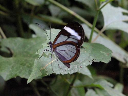 Mariposa transparente - Transparent butterfly; Parque Nacional Santa Fé, Panamá