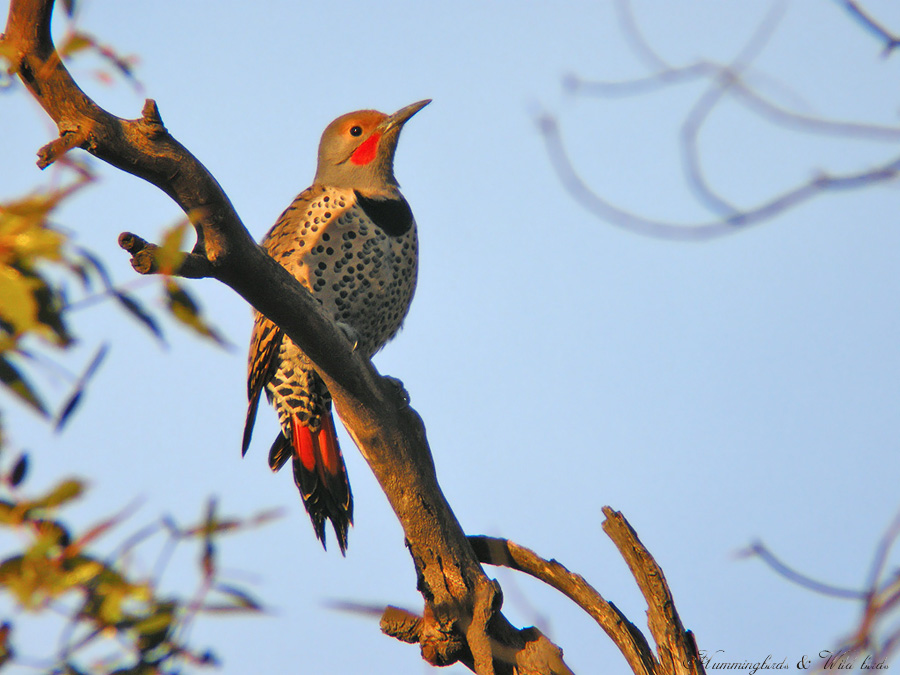 Northern-Flicker 021006