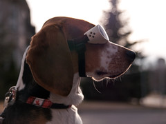 Floyd (Paguma / Darren) Tags: dog goggles hound floyd doggles tamronspaf1750mmf28xrdiiildasphericalif