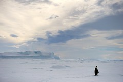 Emperor Penguin Looks Over Sea Ice (KEENPRESS) Tags: portrait snow bird ice nature animal vertical standing outdoors penguin cover subject emperor emperorpenguin oneanimal weddellseal thenaturalworld polarclimate gettykeywordsmasterlist traveldesignation
