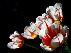 Standing In The Shadows Of Love (flipkeat) Tags: flowers red white flores macro yellow digital flora different tulips photos unique sony awesome flames blossoms fringed tulipa tulpen portcredit mimamorflowers dsch50 rembrandttulips awesomeblossoms thebestofmimamorsgroups flickrsportal