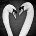 Swan Valentine