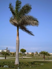 Facing the Wind (MS4d) Tags: new damietta city central park tree palm garden green egyptian egypt nd palms public trees                flower rose rosy flowers beauty beautiful   sky nature natural