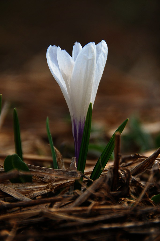 A macro of a white crocus.
