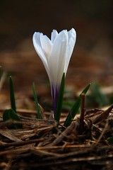 92/365 - Crocus (dcclark) Tags: flowers white flower up spring michigan crocus 365 upperpeninsula coppercountry keweenaw project365 dps365