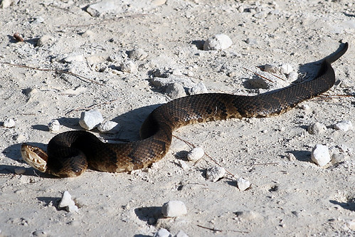 Florida Cottonmouth....