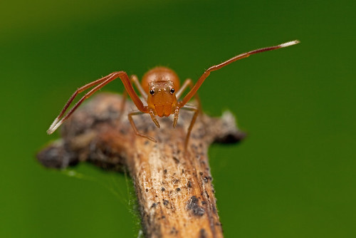 tiny Ant-Mimic Crab spider