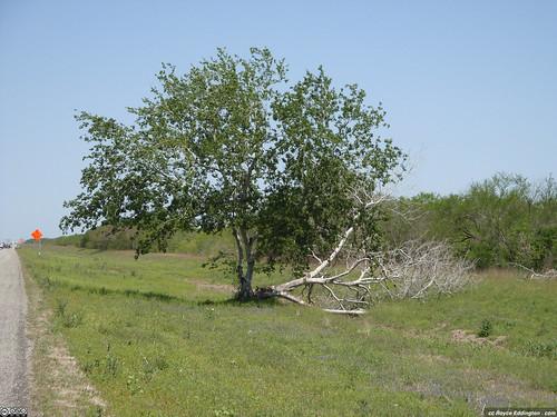 Survivor Tree 6